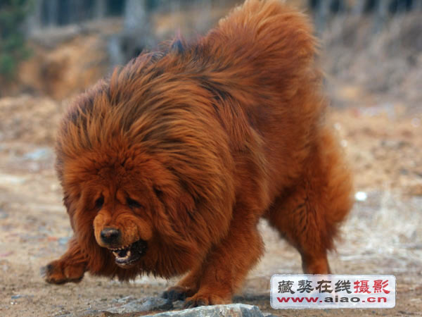... Are Used As Russian Prison Guard Dogs As Well The | Dog Breeds Picture